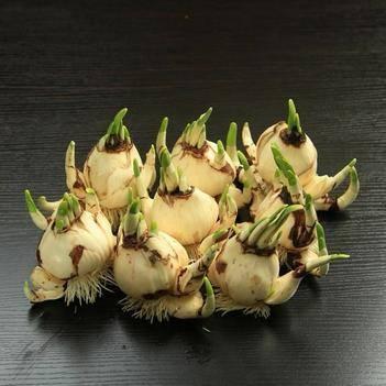 漳州水仙花 冬季易養活 還開花 自廠自銷 都是優選種球