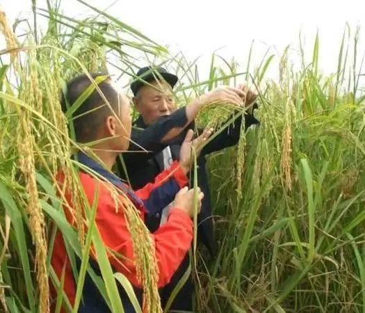湖北省黃岡市黃梅縣龍洋16水稻種子 禾下乘涼不是夢,巨人稻下魚蝦多,有機蝦稻米香甜