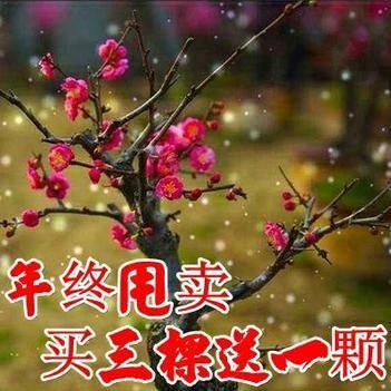 臘梅盆景 紅梅盆景 梅花香自苦寒來 自產自銷 包成活