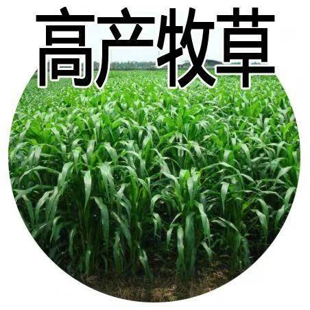 江苏省宿迁市沭阳县甜高粱种子 美国进口饲用甜高粱牛羊鹅鱼高产牧草种子青贮优良品种子草籽