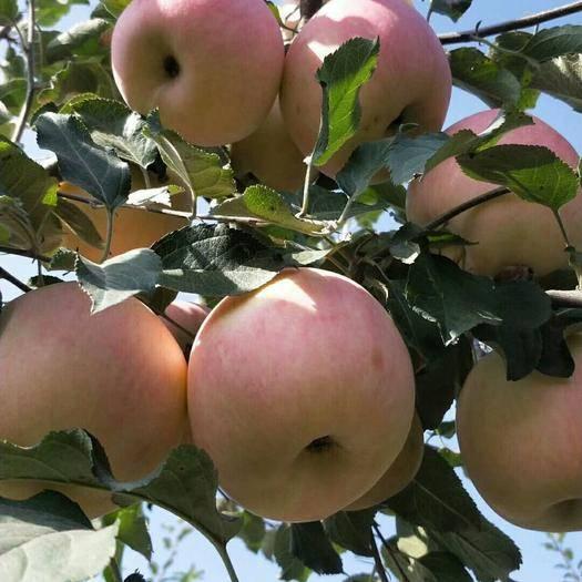 寧夏回族自治區銀川市賀蘭縣 寧夏賀蘭山蘋果,脆甜,酸度小,不含農藥等有害物質。