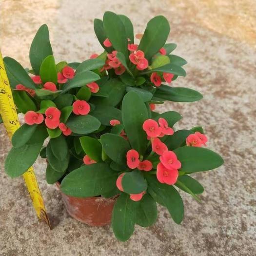 广东省广州市荔湾区 铁海棠虎刺梅盆栽带花发货