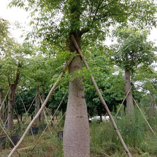 廣東省清遠市英德市大腹木棉 2.5~3米