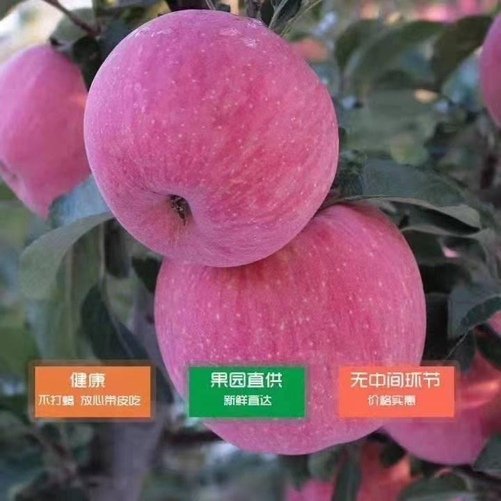 紅富士蘋果 70mm以上 片紅 紙+膜袋
