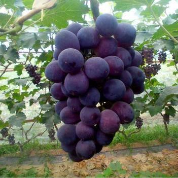 巨峰葡萄苗 巨峰葡萄三年苗,当年挂果。