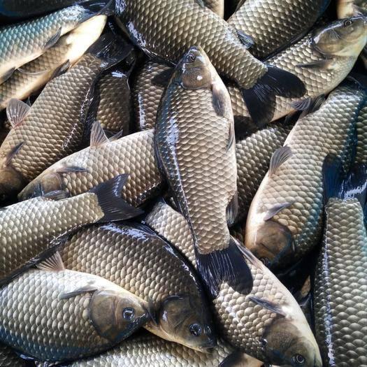 江苏省南京市江宁区 渔场直销四大家鱼垂钓用鱼,各种鲫鱼