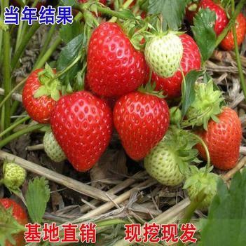 甜查理草莓苗,包成活,當年結果,南北方盆栽地栽,基地直銷