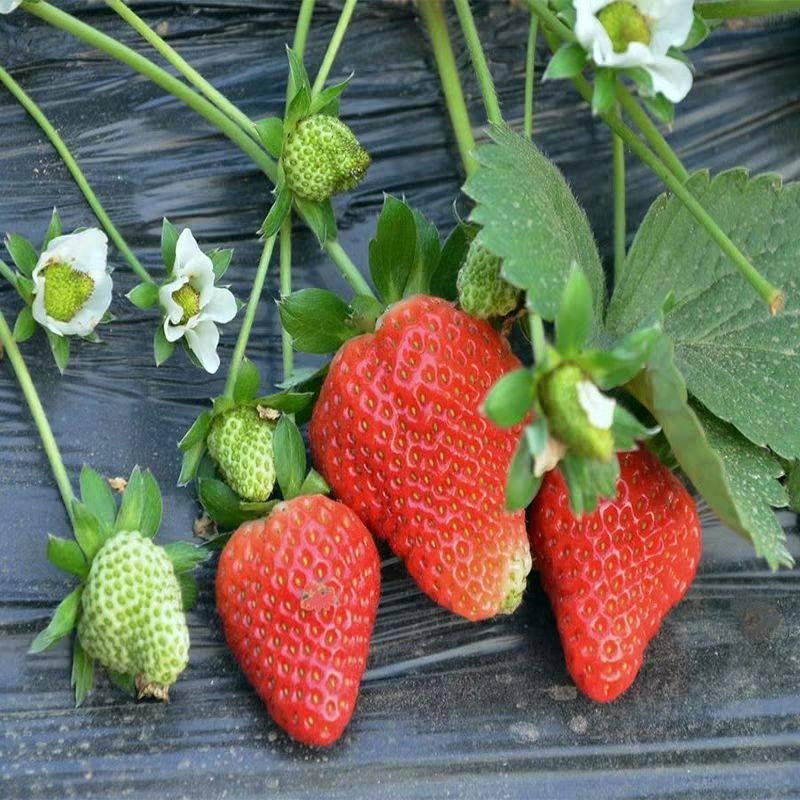 甜查理草莓苗,包成活,当年结果,南北方盆栽地栽,基地直销