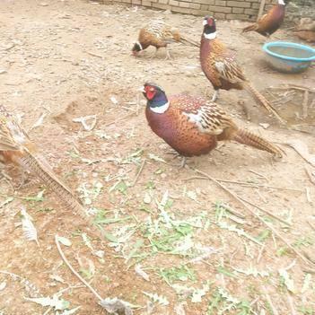 散養七彩山雞,野山雞,野雞,公山雞,非常漂亮