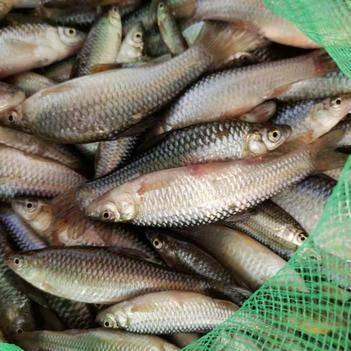 麦穗鱼 捞得一批野生鱼