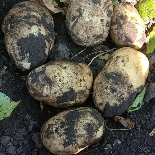 内蒙古自治区呼伦贝尔市牙克石市兴佳2号种薯 一级原种