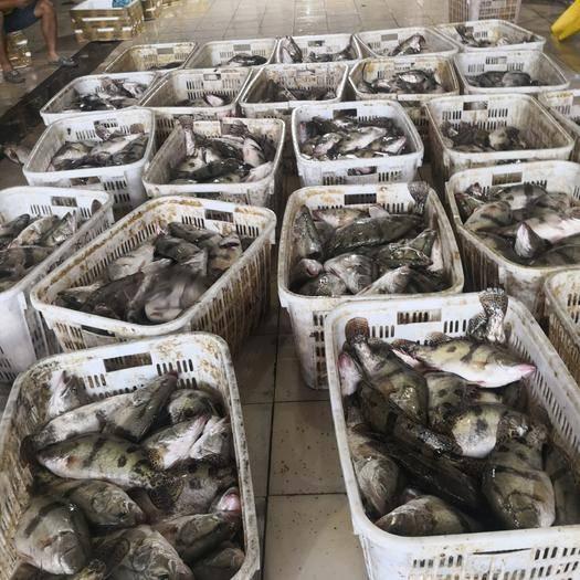 湖南省长沙市雨花区翘嘴鳜 新鲜桂鱼