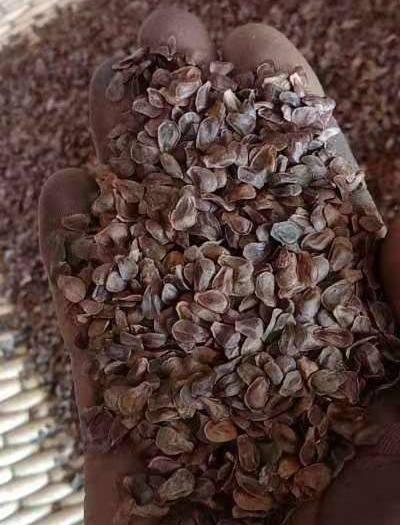 辽宁省营口市盖州市 辽宁。直立白薇种子。纯新保牙率。质量没的说。太好了