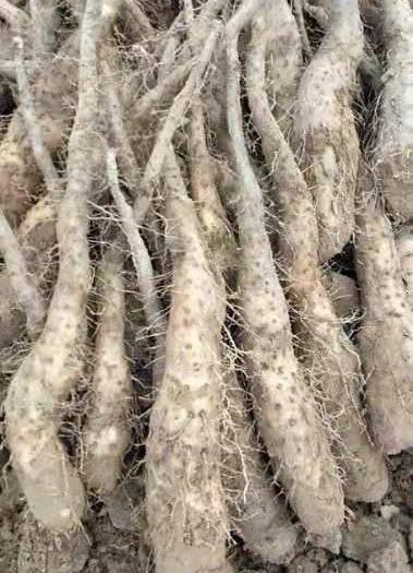 山東省濱州市惠民縣 日本白玉山藥苗種,原種質量好,無公害蔬菜,搶手貨