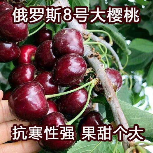 山東省臨沂市平邑縣 俄羅斯8號櫻桃苗  6月上旬成熟 單果均重13.0g 抗寒