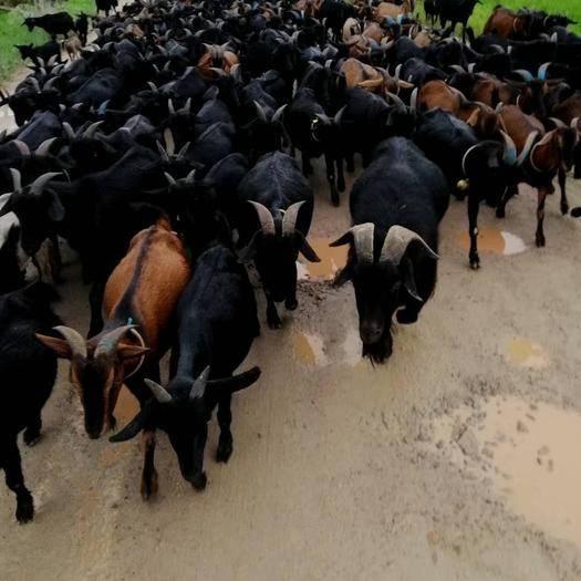 广东省清远市清城区波尔山羊 全力营造自然原生态养殖