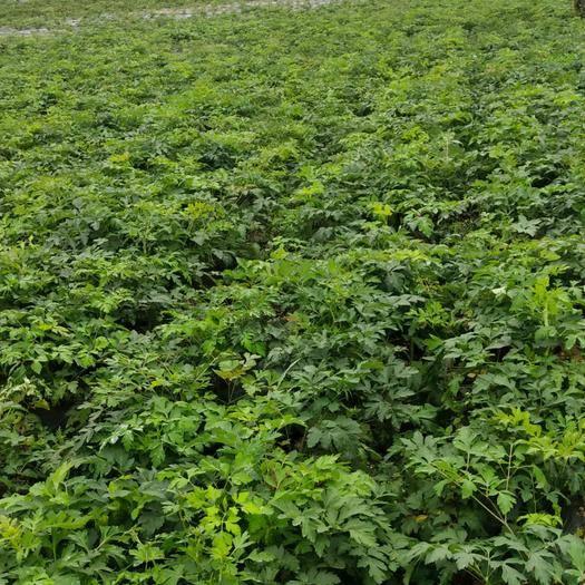 重庆市彭水苗族土家族自治县白花前胡种子 种植前胡300亩,高海拔种植!