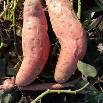 正宗山東煙薯25號蜜薯五斤一件代發烤紅薯紅瓤流油烤地瓜