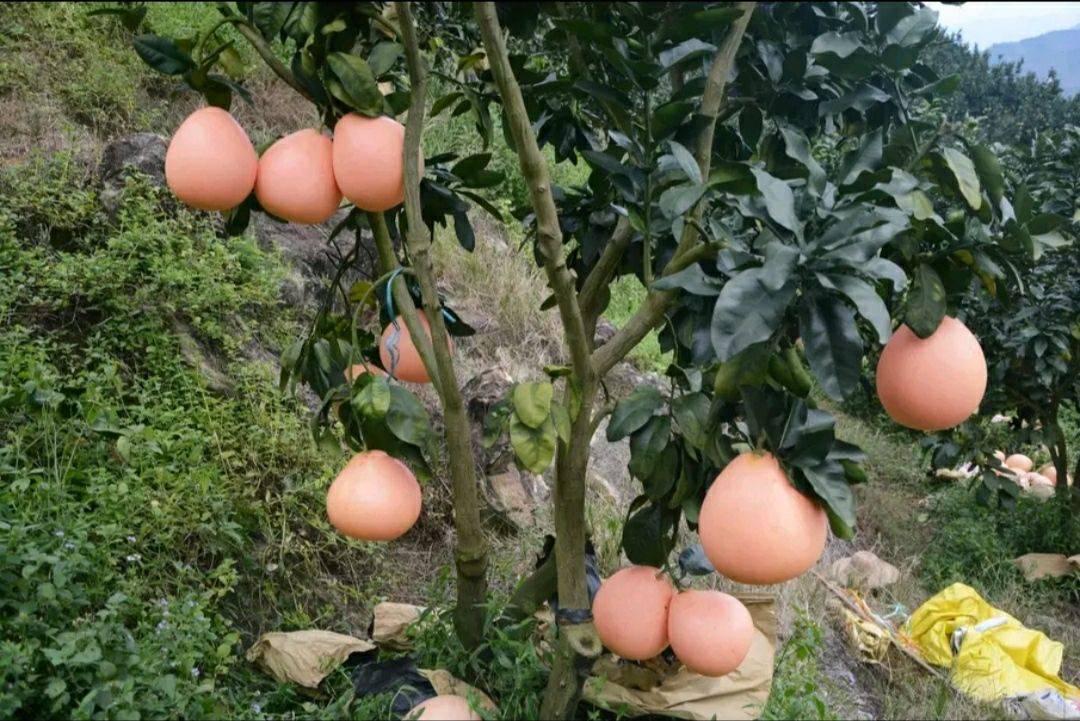 紅心柚苗 皮薄  個大  保品種 包成活  基地直銷  現挖現賣