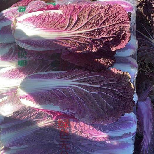 河北省唐山市玉田縣 唐山市優質紫色白菜,供應全國