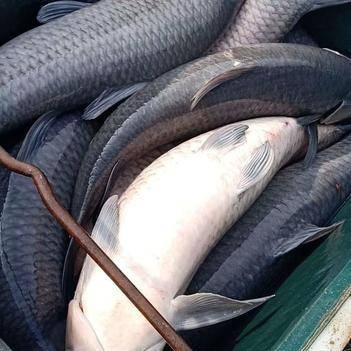 乌青鱼 人工养殖