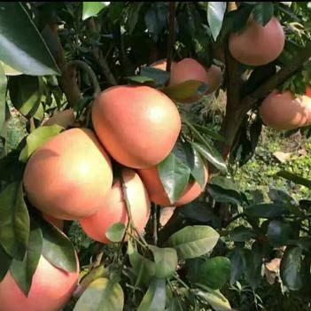 红心柚苗 皮薄  个大  保品种 包成活  基地直销  现挖现卖
