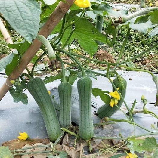 广东省广州市增城区 财富肉丝瓜苗,早上熟价格高,座果多,产量不是一般的高