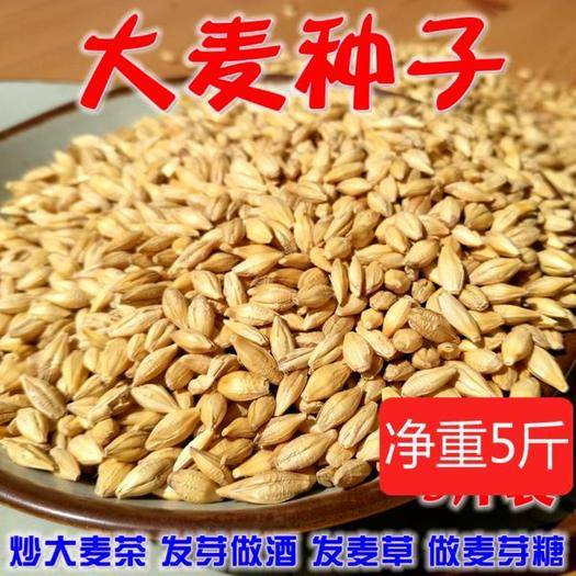 河南省商丘市永城市大麦种子 大麦高产种子做酒发麦芽糖原料