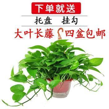 綠蘿180盆栽  四盆包郵長藤大葉 基地直銷凈化空氣除甲醛