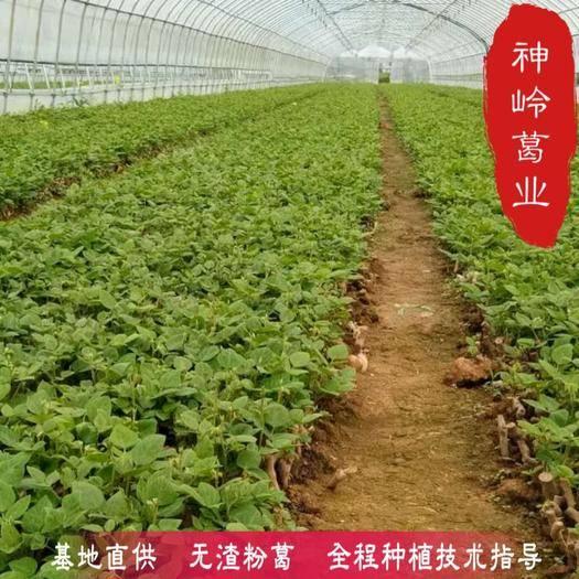 广西壮族自治区梧州市藤县 葛根种苗 粉葛种苗 基地直供