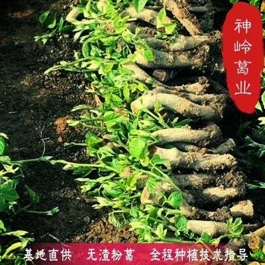 广西壮族自治区梧州市藤县 葛根种苗 基地葛根种苗二代苗 产量更高更粉更无渣