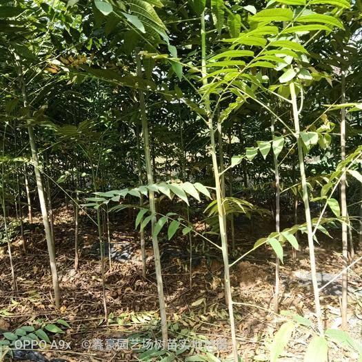 山东省泰安市岱岳区 大棚香椿苗粗度1.5公分以上红油香椿苗