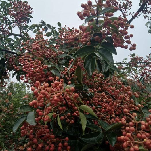 陕西省渭南市韩城市大红袍花椒苗