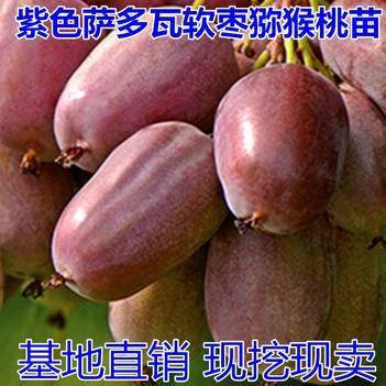 金香猕猴桃苗 紫色萨多瓦软枣猕猴桃树苗盆栽地栽南方北方四季种植