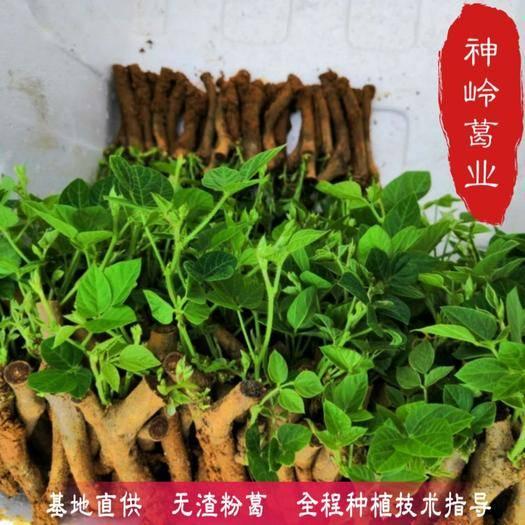 广西壮族自治区梧州市藤县 葛根种苗 食用葛根种苗 粉质高葛根苗