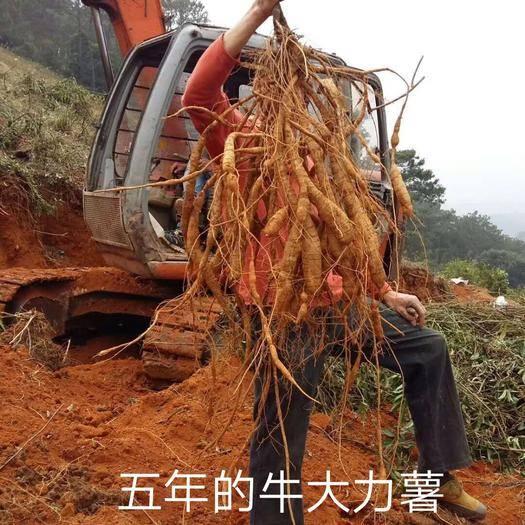 广西壮族自治区贵港市平南县牛大力苗 种植牛大力用途广,可泡酒,入药材,煲汤,保健品