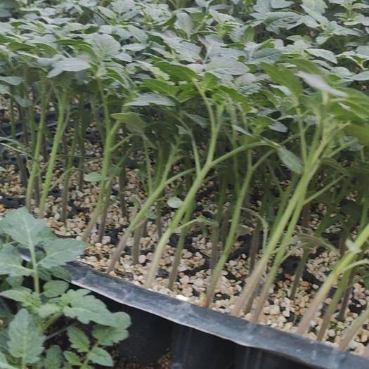 山东省潍坊市寿光市硬粉番茄苗 硬粉贝拉番茄苗