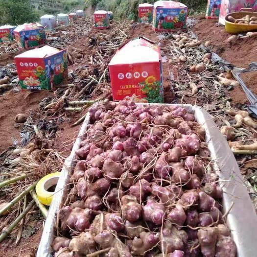 福建省南平市建瓯市 雪莲果种球包邮雪莲果种子雪莲果种芽基地直发包售后全程指导
