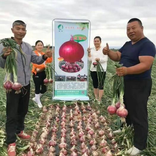陕西省西安市高陵区红皮洋葱种子 红宝10