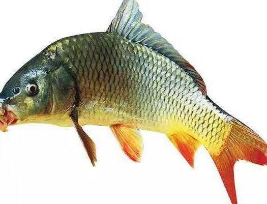 重慶市潼南區 鯉魚