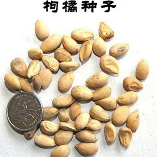 四川省南充市嘉陵区 枳壳种子枸橘种子香橼种子新种子包邮