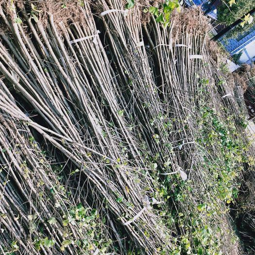 山东省临沂市郯城县 本基地出售一米到十公分的银杏树苗,质优价廉,欢迎各位老板光临