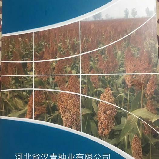 河北省沧州市沧县高粱种子 河北汉青种业有限公司出售各积温带高粱品种!欢迎咨询!