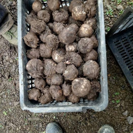 贵州省毕节市大方县魔芋种 二芋,2两至6两
