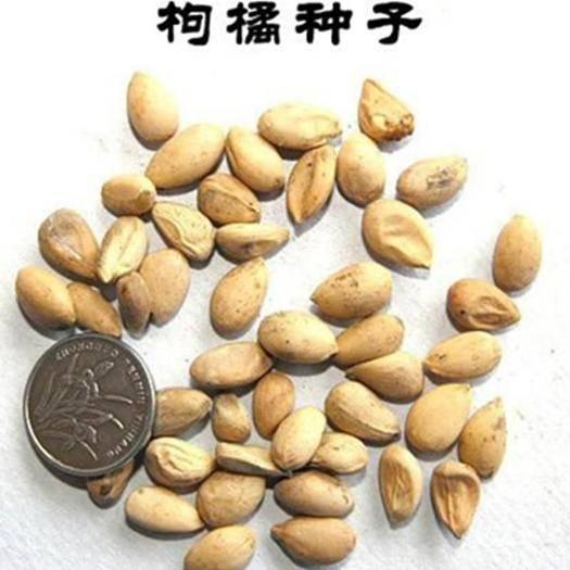 四川省成都市锦江区 枳壳种子枸橘种子香橼种子包邮
