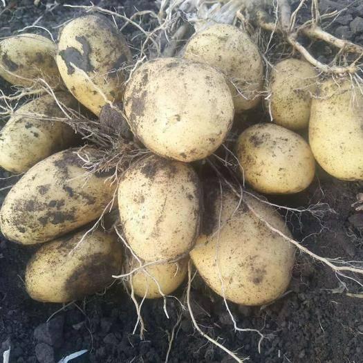 内蒙古自治区呼伦贝尔市海拉尔区荷兰806土豆种子 沙地生产,皮毛好,口感好,商品性佳