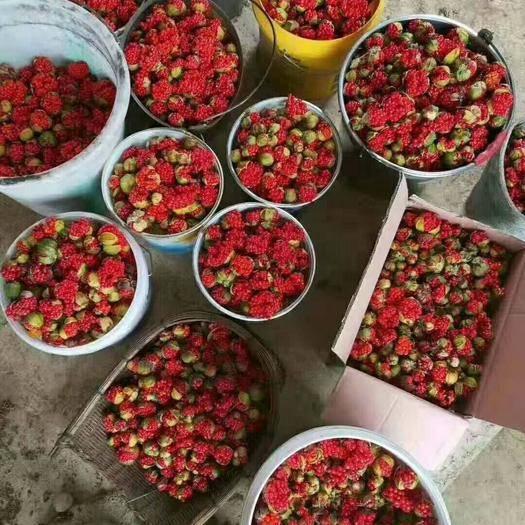 云南省文山壮族苗族自治州马关县 重楼种子!发芽率95%以上!可提供种植技术