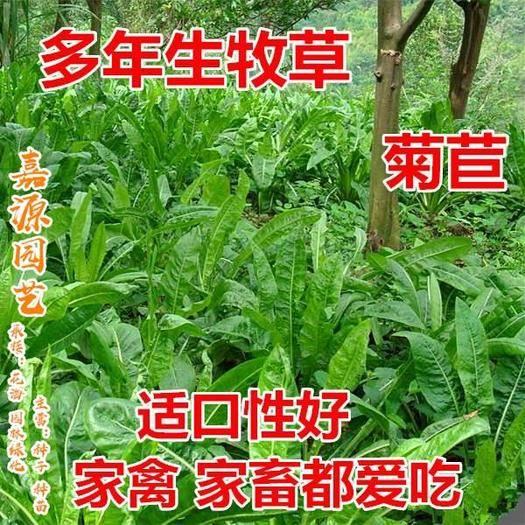 四川省成都市锦江区 菊苣种子牧草种子新种子包邮