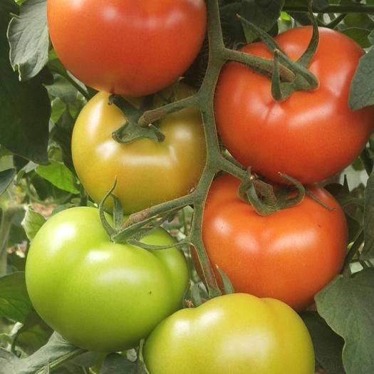 山东省潍坊市寿光市 嫁接大红西红柿苗 精品番茄苗 厂家直销