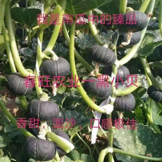 甘肃省酒泉市肃州区贝贝南瓜种子 我是南瓜中的臻品,香、甜、甘、面口感极佳